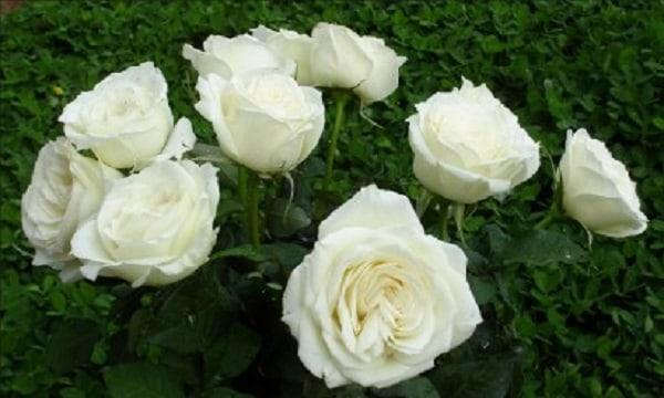 Dùng hoa hồng bạch trị ho cho trẻ sơ sinh