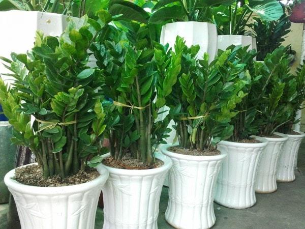 Nên trồng cây kim phát tài thế nào để mang lại tài lộc?