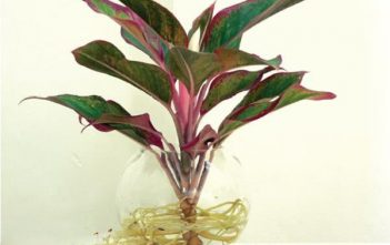 Cây vạn lộc có độc không? Có nên đặt cây vạn lộc trong nhà không?