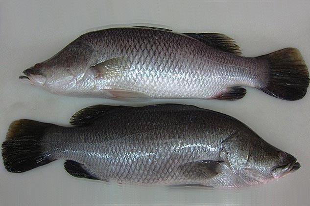 Cách chọn cá chẽm ngon