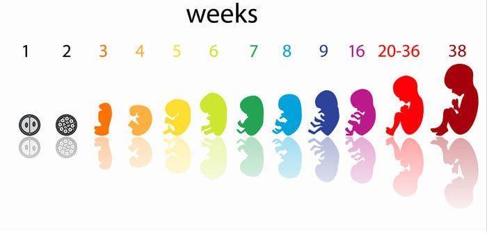 Sự phát triển của thai nhi qua các tuần tuổi