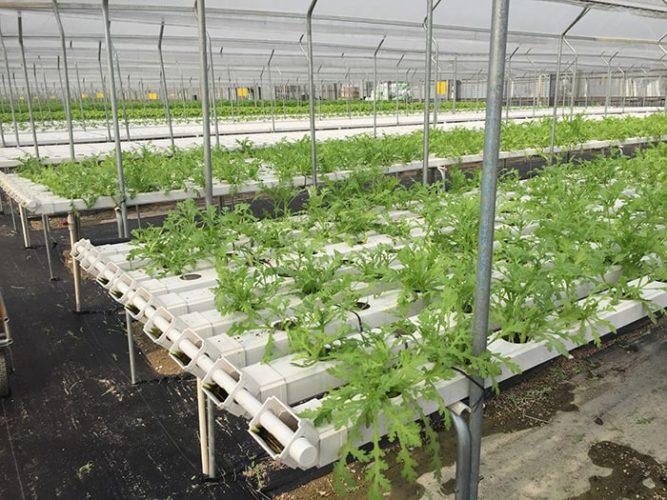Tưới nhỏ giọt trong trồng rau thủy canh