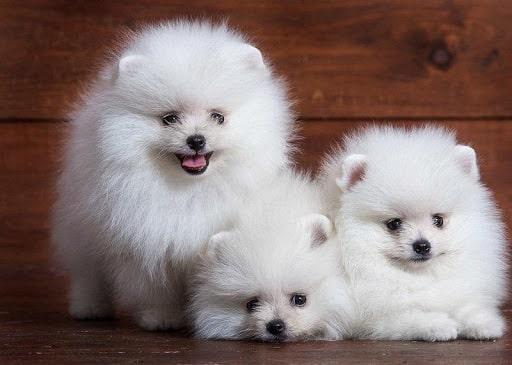 Chó Sóc Pomeranian