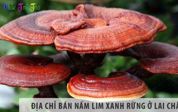 Địa chỉ bán nấm lim xanh rừng tỉnh Lai Châu uy tín