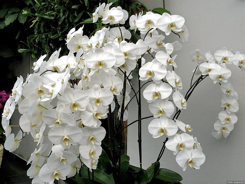 Hoa phong lan hợp tuổi Đinh Sửu (1997) – mệnh Thủy